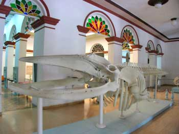 Whale at the Museo de Historia Natural © sogestour