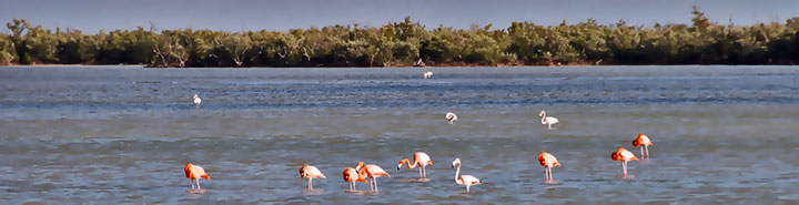 Pink flamingos picking for food in Las Salinas